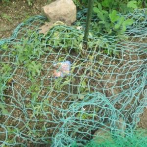 ゴーヤ初収穫とカラスにまたヤ・ラ・レ・ル