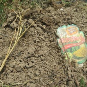 スイカ初収穫と蝶豆の開花