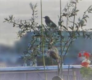小さいオリーブに鳥が来た