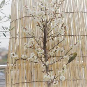 ベランダの梅の木にメジロが来てくれました