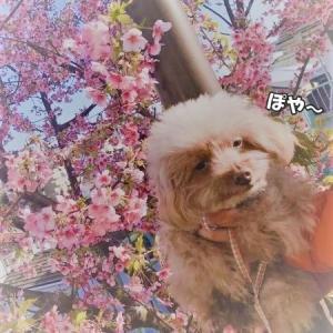近所の河津桜と八重の水仙・・・と不安な日々