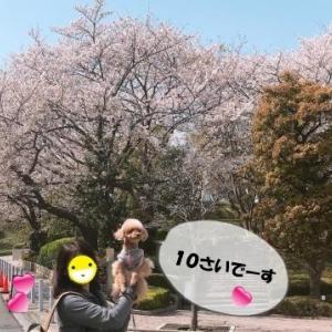 今日と10年前の桜とまかちゃん