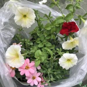 見切り品の花を大きく育てたい(50円)