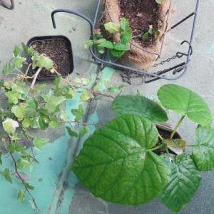 観葉植物の寄せ植えハンギング