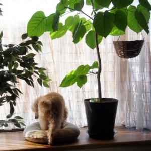 ウンベラータ挿し木5鉢目