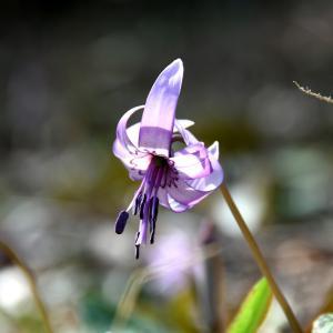 カタクリの花言葉とスプリングエフェメラルについて