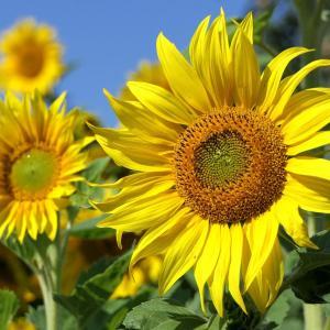 ひまわりは怖くて不気味な花なのか。種が気持ち悪い心理は?