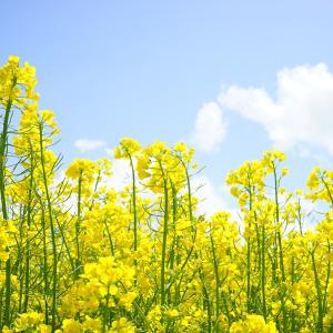 """菜の花の花言葉と効能。抗がん作用は""""つぼみ""""にある!"""