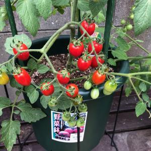 庭のトマトが赤くなりました