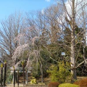 駆け足になるか!桜の開花