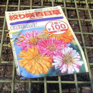 絞り咲き百日草を蒔いてきました