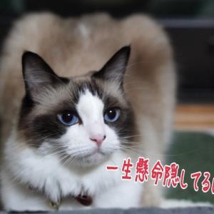 トイレでせっせとお仕事をする愛猫とお仕事を増やされてる飼い主( ノД`)…