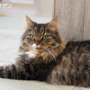 たくさんの猫種にお会いして混乱した飼い主と、自粛生活の慣れの果てと戦う愛猫(;´∀`)