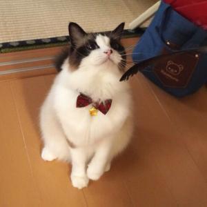 真剣な愛猫とニヤニヤが止まらない下僕(*´﹃`*)