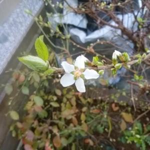 ユスラウメ開花と逆襲のブロッコリー