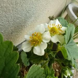 イチゴ開花