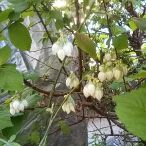 ブルーベリー開花