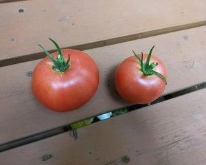 普通トマト収穫