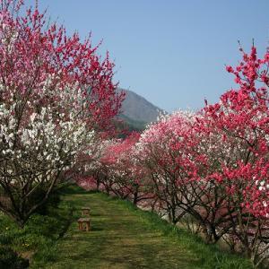 花桃季節、自粛でお願いします。