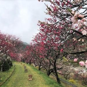 今日は雨、明日は良さそうな天気 花桃も見頃になってきました。
