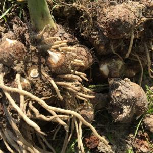 里芋の収穫と耕運機をかける