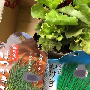 わけぎ定植と茗荷初収穫