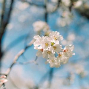 フィルム一眼レフ機 OLYMPUS OM10+G.ZUIKO 50mm F1.4で桜を撮ってみたらすごく雰囲気よく写った