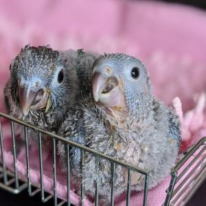 ウロコ・ブルー2羽きょうだい誕生しました~!