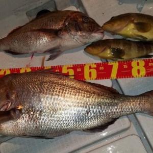 コレが日本記録級のメーターオーバーの超大型真鯛だ!重さは驚きの1○kg!