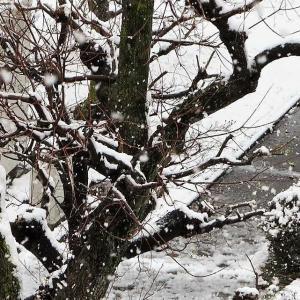 三月末の桜に雪!