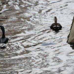 水鳥たち!