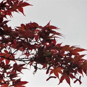 灰色の空の下の赤紅葉!