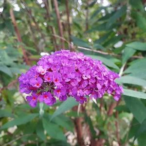 ブッドレア-紫の輝き