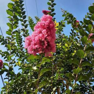 百日紅の花が咲いた