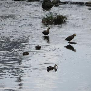 早渕川のカルガモ