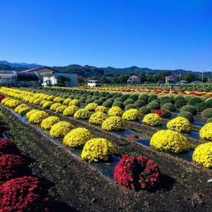 中央区田名 シノザキファーム ざる菊