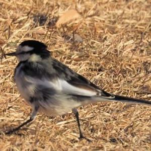 今日観られた野鳥たち(ハクセキレイ、イソヒヨドリ、ジョウビタキ)