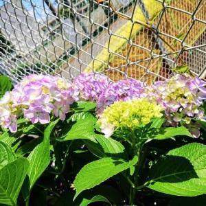 我が街にもアジサイが咲き始めました。