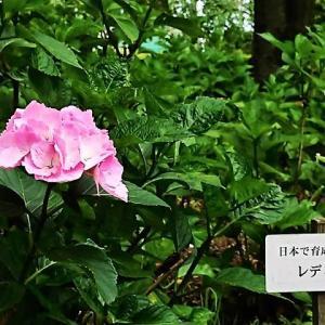 北公園 アジサイが咲き始めました。