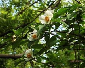 水無月園 花しょうぶ、ナツツバキ 2