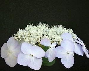 麻溝公園  紫陽花、ユリの花 2