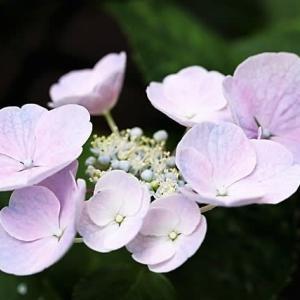 初夏の麻溝公園、紫陽花も終焉です。