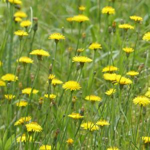 オオキンケイギクの次はブタナ 茎が長いタンポポのような花