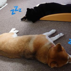 犬が新型コロナ感染の有無を嗅ぎ分け
