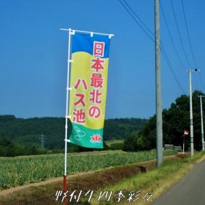 日本最北の蓮池