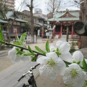 桃の花が咲く北越谷香取神社で開催中のひな人形展示