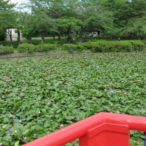 コロナ対応の武蔵第六天神社/睡蓮が咲く岩槻城址公園