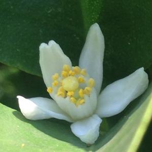 金柑のお花とかわいい実