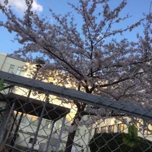 上杉の桜シリーズ2020& 「もう10年」。。。
