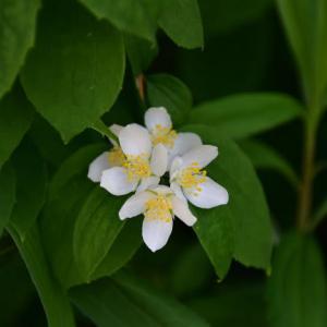 セイヨウバイカウツギの花
